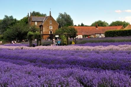 Norfolk-Lavender
